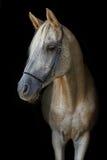 在黑背景的阿拉伯公马 免版税库存图片
