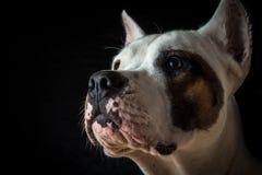 在黑背景的阿根廷狗 库存图片