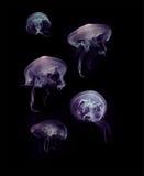 在黑背景的水母 库存图片