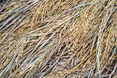 在稻背景的水稻种子 免版税库存照片