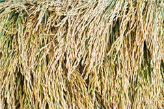 在稻背景的水稻种子 免版税库存图片