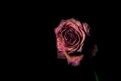 在黑背景的死红色玫瑰 免版税库存照片