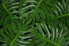 在黑背景的绿色叶子Monsteras背景的 库存图片
