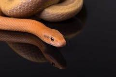 在黑背景的黄色吃鼠的蛇 库存图片