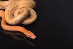 在黑背景的黄色吃鼠的蛇 库存照片
