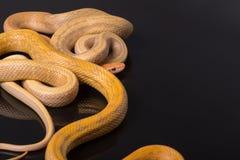 在黑背景的黄色吃鼠的蛇 免版税图库摄影