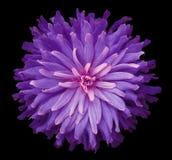 在黑背景的紫色桃红色花隔绝与裁减路线 特写镜头 免版税库存图片