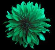 在黑背景的绿色花隔绝与裁减路线 特写镜头 库存照片