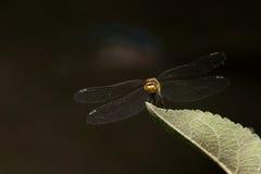 在黑背景的蜻蜓 库存图片