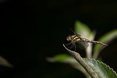 在黑背景的蜻蜓 库存照片
