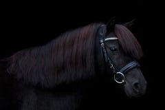 在黑背景的黑逗人喜爱的小马画象 库存图片