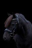在黑背景的黑逗人喜爱的小马画象 免版税库存照片