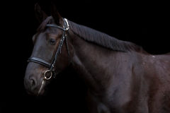 在黑背景的黑马画象 免版税库存图片