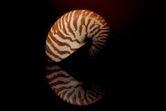 在黑背景的Nautillus壳 库存图片