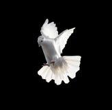 在黑背景隔绝的一只自由飞行白色鸠 免版税库存图片