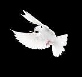 在黑背景隔绝的一只自由飞行白色鸠 库存照片