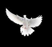 在黑背景隔绝的一只自由飞行白色鸠 免版税库存照片