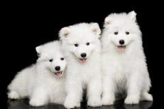 在黑背景隔绝的三只萨莫耶特人小狗 库存照片