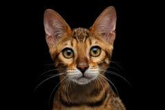 在黑背景隔绝的可爱的品种孟加拉小猫 免版税图库摄影