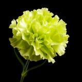 在黑背景隔绝的康乃馨花绽放 库存图片