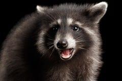 在黑背景隔绝的特写镜头画象逗人喜爱的小浣熊 库存照片