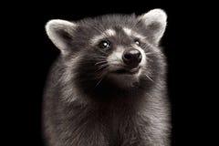 在黑背景隔绝的特写镜头画象逗人喜爱的小浣熊 库存图片