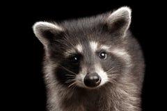在黑背景隔绝的特写镜头画象逗人喜爱的小浣熊 免版税图库摄影