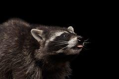 在黑背景隔绝的特写镜头画象逗人喜爱的浣熊 免版税库存图片