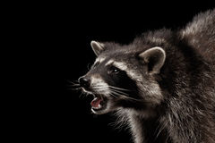 在黑背景隔绝的特写镜头画象逗人喜爱的浣熊 免版税库存照片