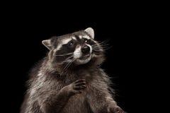 在黑背景隔绝的特写镜头画象滑稽的浣熊 免版税图库摄影