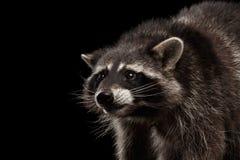 在黑背景隔绝的特写镜头画象滑稽的浣熊 免版税库存图片