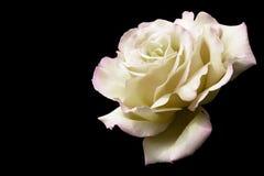 白色玫瑰 库存照片