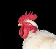 在黑背景隔绝的白色雄鸡画象 免版税库存图片