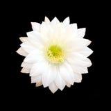 在黑背景隔绝的白色仙人掌花 免版税库存照片