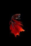在黑背景隔绝的红色暹罗战斗的鱼 Betta fi 免版税库存照片