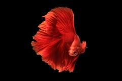 在黑背景隔绝的红色betta鱼 (泰国betta的) 库存照片