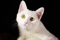 在黑背景隔绝的纯净的白色猫 免版税库存照片