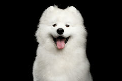 在黑背景隔绝的萨莫耶特人狗 免版税库存照片