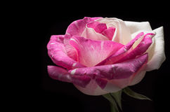 在黑背景隔绝的超现实的黑暗的桃红色玫瑰花宏指令 免版税库存图片