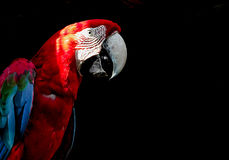 在黑背景隔绝的金刚鹦鹉 库存照片