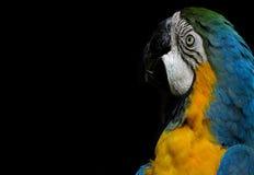 在黑背景隔绝的金刚鹦鹉 免版税图库摄影
