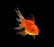 在黑背景隔绝的金鱼 免版税库存照片