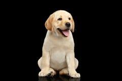 在黑背景隔绝的金黄拉布拉多猎犬小狗 库存图片