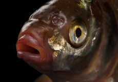 在黑背景隔绝的鲂鱼 库存照片