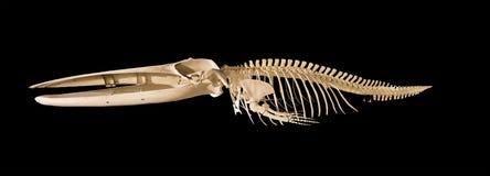 在黑背景隔绝的鲸鱼骨骼 库存照片