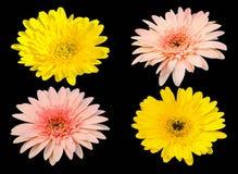 在黑背景隔绝的黄色和桃红色大丁草绽放花 免版税库存图片