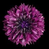 在黑背景隔绝的紫色矢车菊花 免版税库存照片