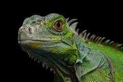 在黑背景隔绝的绿色鬣鳞蜥 免版税库存照片