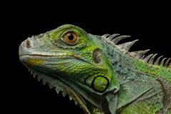在黑背景隔绝的绿色鬣鳞蜥 图库摄影