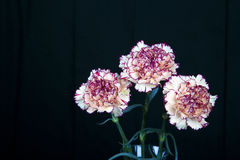 在黑背景,黄色花,春天的康乃馨花 免版税库存照片